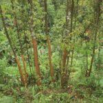 Ceilono cinamono medžiai